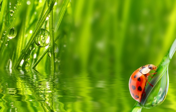 Picture grass, water, drops, Rosa, ladybug, morning, insect
