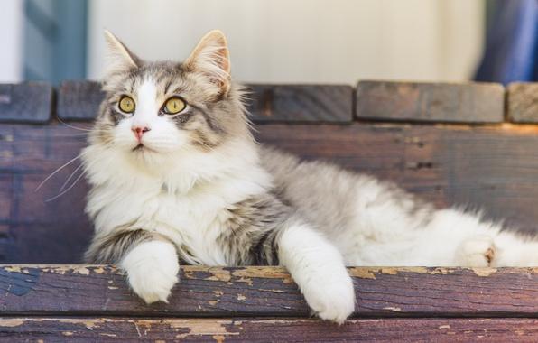Picture cat, eyes, cat, wool, Koshak, lies