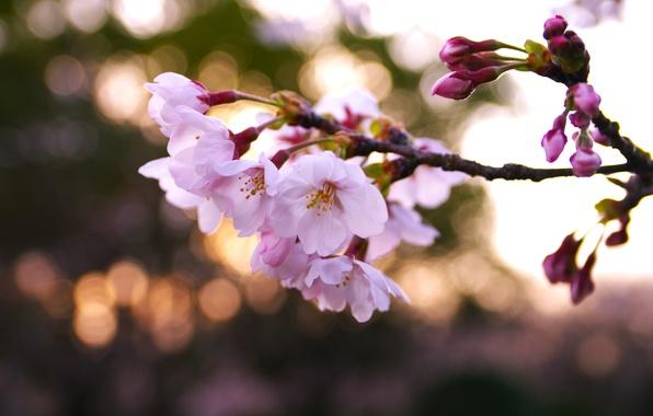 Picture macro, light, flowers, nature, cherry, glare, branch, spring, petals, blur, Sakura, pink