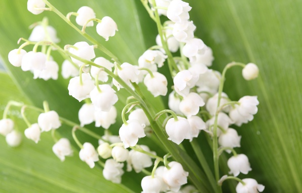 Picture leaves, flowers, bouquet, spring, buds, lilies of the valley