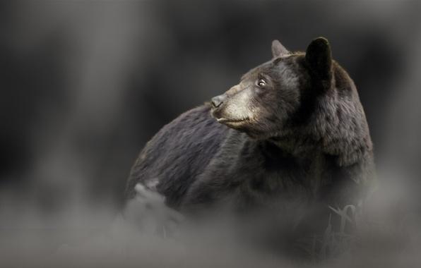 Picture bear, baribal, black bear