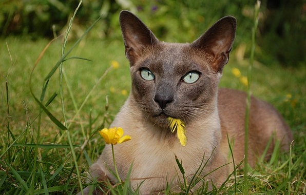 Picture cat, flower, grass, look, a feather, The Tonkinese