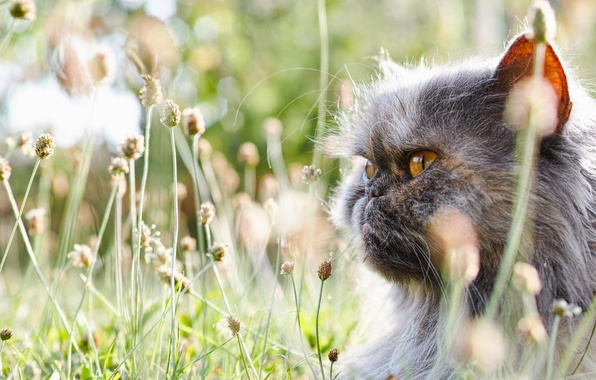 Picture grass, cat, face, fluffy, pers, Persian cat