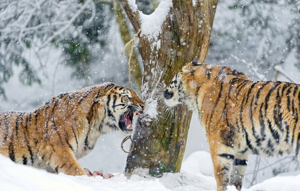 Picture winter, snow, tree, predator, pair, fangs, big cat, the Amur tiger