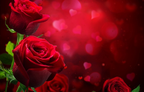 Picture photo, Flowers, Roses, Burgundy