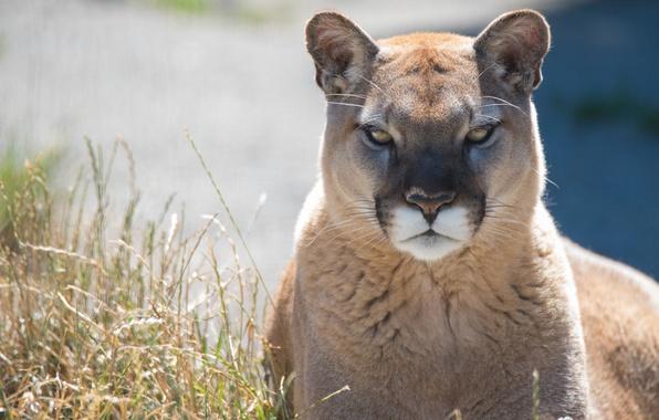 Picture predator, Puma, wild cat, mountain lion, Cougar