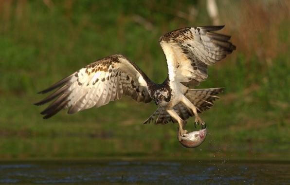 Picture bird, food, fish, predator, catch