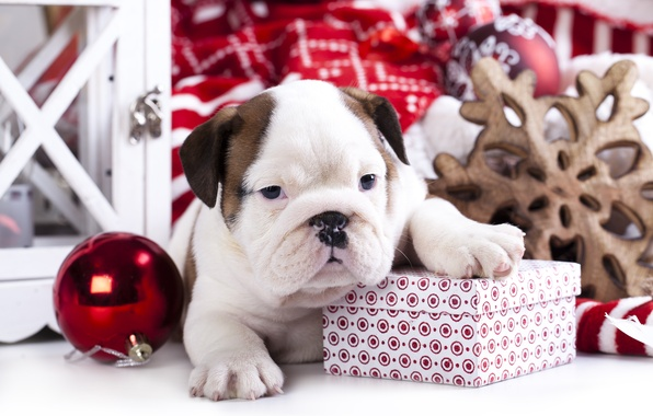 Picture box, gift, toy, dog, ball, puppy, English bulldog