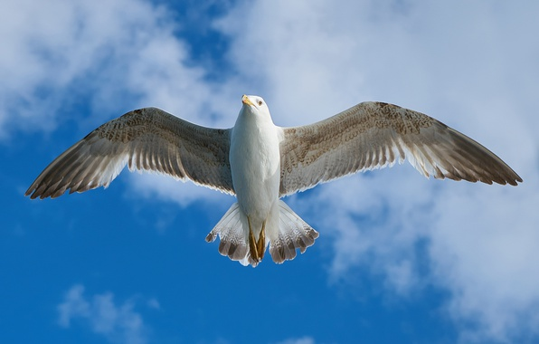 Picture the sky, clouds, flight, bird, wings, Seagull, feathers, the scope
