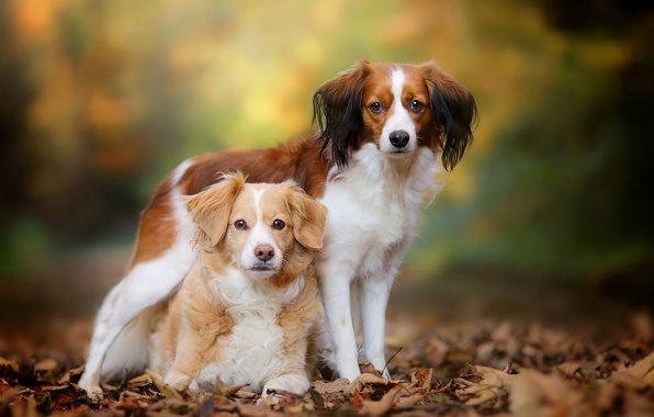 Picture autumn, dogs, leaves, a couple, bokeh, The Brittany, Kooikerhondje