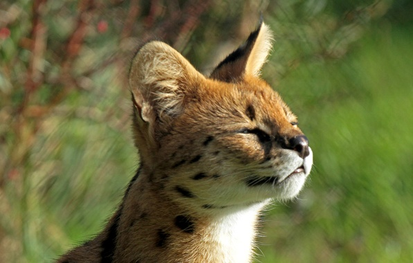 Picture baby, muzzle, profile, kitty, baldeet, Serval, Bush cat, Leptailurus serval