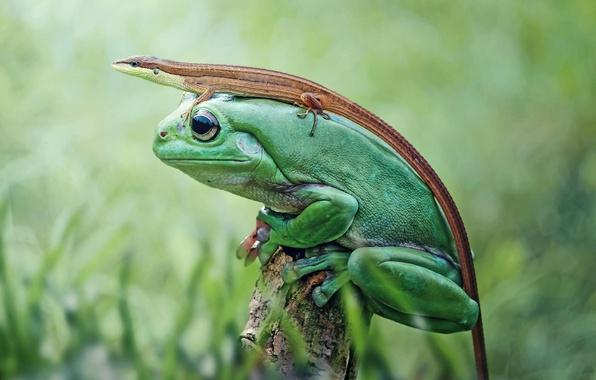Picture nature, frog, lizard, amphibian