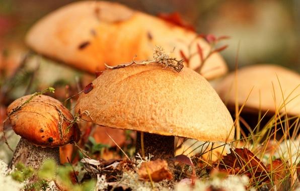 Picture autumn, grass, leaves, macro, mushrooms, food
