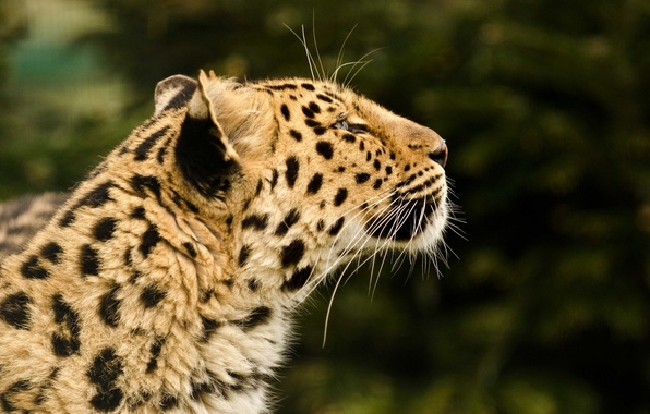 Picture face, predator, leopard, profile, fur, wild cat
