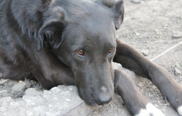 Picture sadness, eyes, look, earth, devotion, Dog, paws