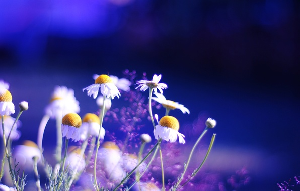 Picture color, flowers, nature, background, Wallpaper, bright, chamomile, plants