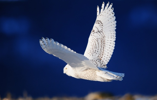 Picture owl, bird, wings, white, flight