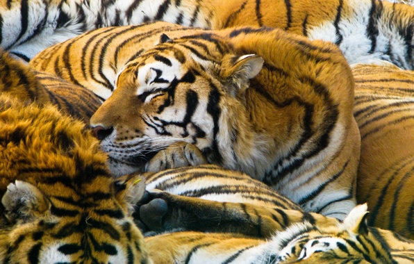 Picture cats, predators, tigers, 1920x1200, cats, predators, tigers