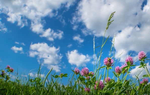 Picture the sky, grass, clouds, flowers, meadow, clover