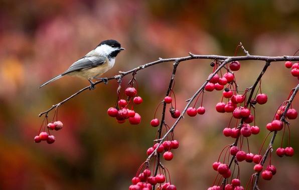 Picture autumn, berries, bird, branch, bird, titmouse, tit, John Clay Photography