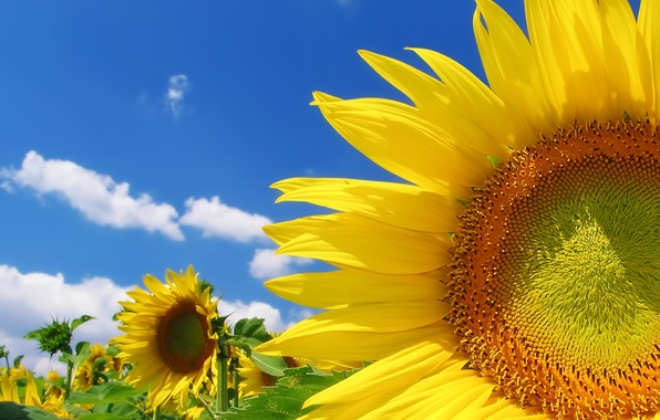 Picture field, summer, the sky, clouds, sunflowers, yellow, color, bright