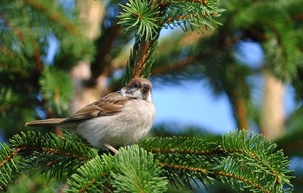 Picture nature, bird, spruce, branch, Sparrow, sitting