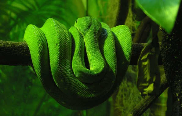 Picture greens, snakes, tree, snake