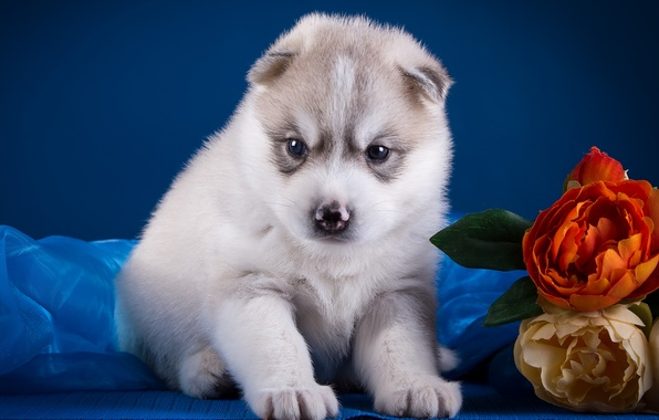 Picture flowers, baby, puppy, husky