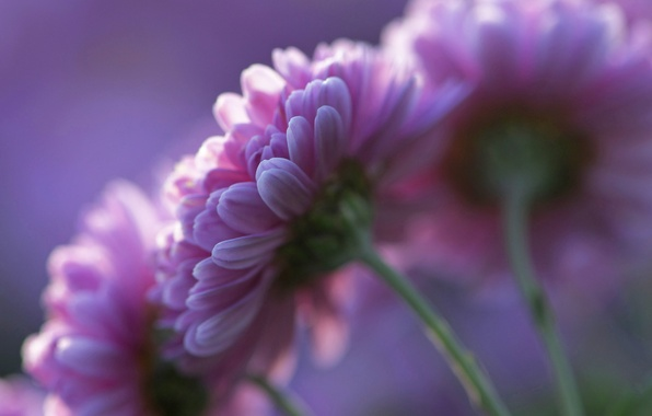 Picture purple, flowers, background, petals, pink, Chrysanthemum