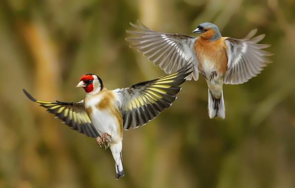 Picture birds, wings, goldfinch, Chaffinch