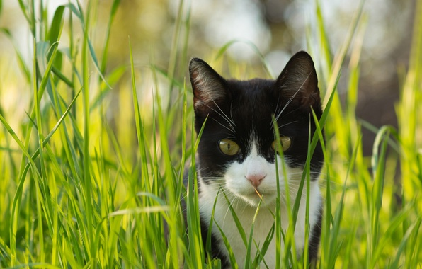 Picture cat, grass, cat, look, black and white