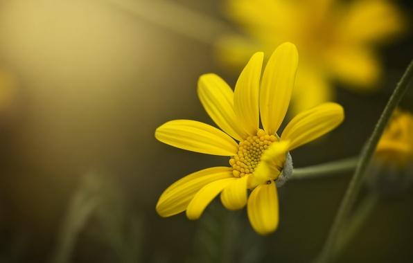 Picture flower, macro, yellow, petals, bokeh