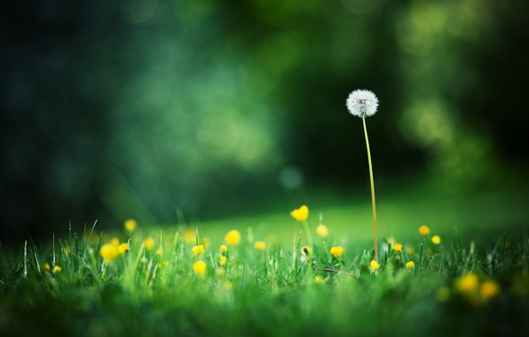Picture summer, grass, macro, flowers, photo, background, dandelion, Wallpaper, glade, blur, bokeh