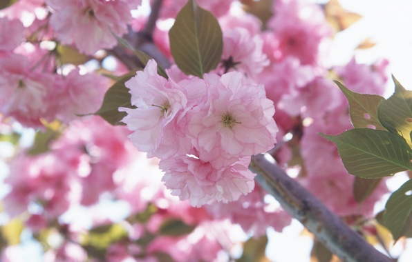 Picture flower, macro, flowers, cherry, pink, branch, tenderness, spring, petals, Sakura