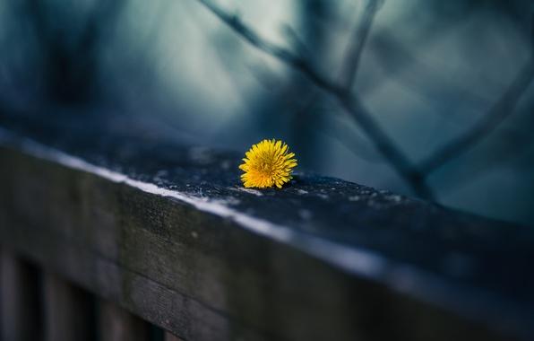 Picture yellow, background, dandelion, railings, bokeh