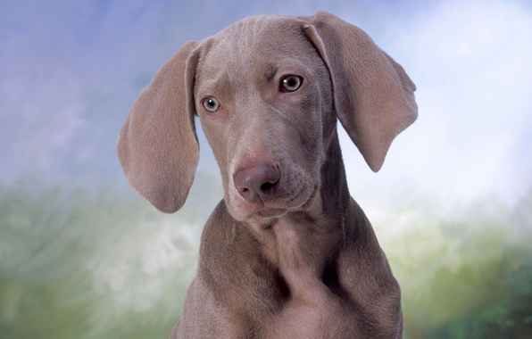 Picture eyes, face, dog, dog, ears, the Weimaraner