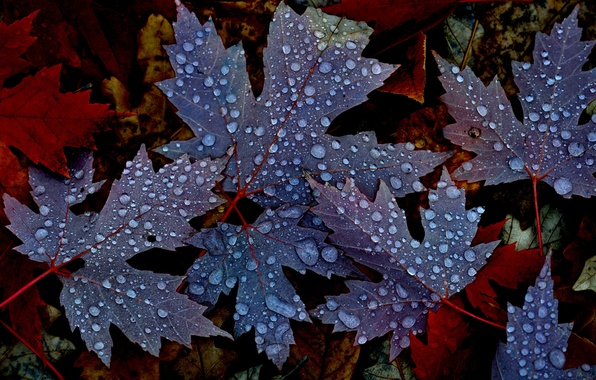 Picture autumn, leaves, water, drops, nature, Rosa, maple