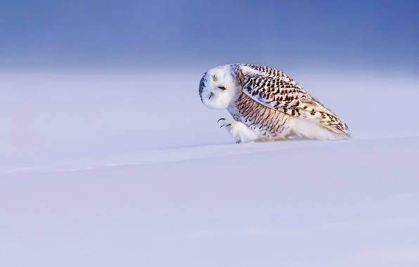 Picture winter, light, snow, bird, snowy owl, white owl, Nyctea scandiaca, Bubo scandiacus