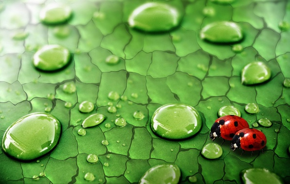 Picture greens, drops, insects, Rosa, Sheet, ladybugs