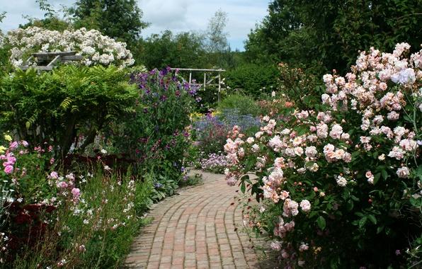 Picture flowers, England, roses, garden, track, the bushes, Rosemoor Rose Garden
