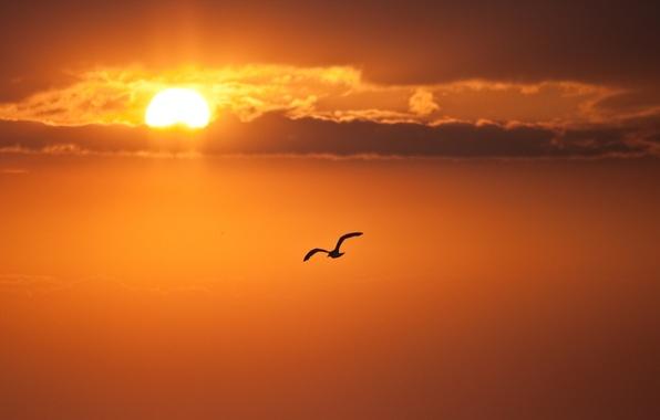Picture the sky, clouds, flight, bird, The sun
