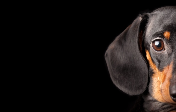 Picture eyes, dog, Dachshund, looks, black background