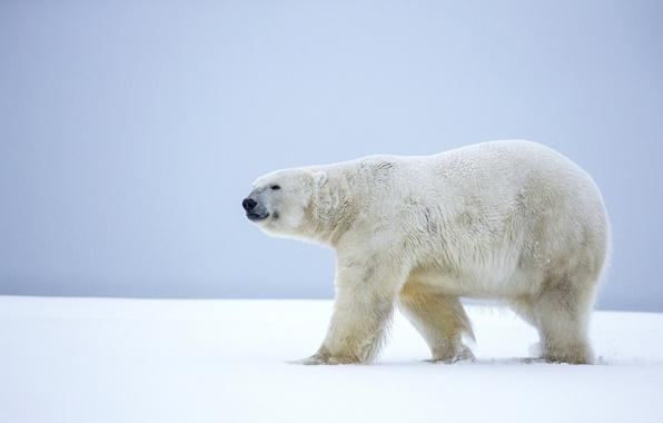 Picture winter, snow, bear, Alaska, polar bear, polar bear