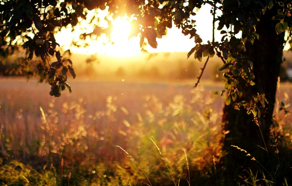 Picture field, grass, leaves, the sun, light, trees, sunset, nature, the evening