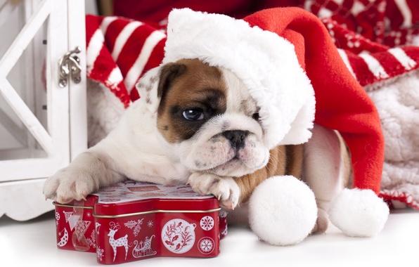 Picture dog, puppy, cap, box, English bulldog