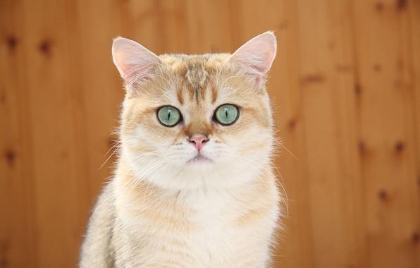 Picture cat, Koshak, Tomcat, alert, cat