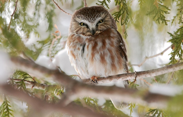 Picture branches, nature, tree, owl, bird
