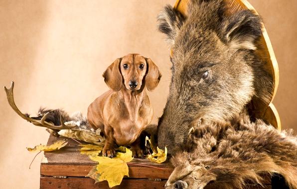Picture leaves, dog, head, skin, horns, Dachshund, chest, boar, hunter