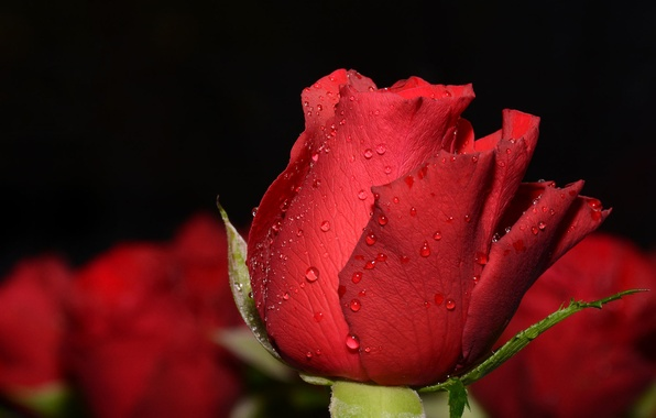 Picture drops, macro, background, Bud, red rose, bokeh
