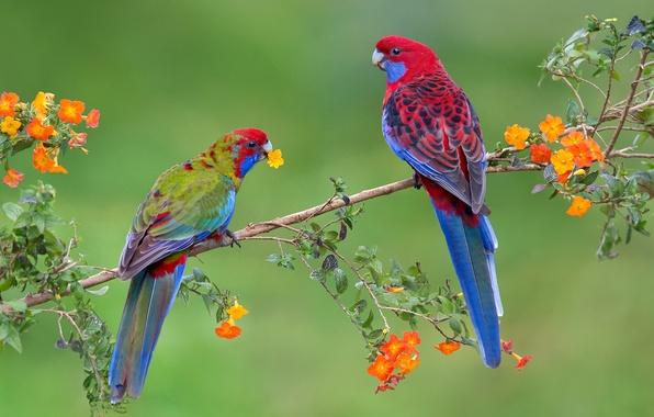 Picture birds, branch, parrot, pair